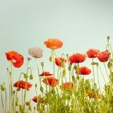 Dziki maczek kwitnie na lato łące szczegółowy rysunek kwiecisty pochodzenie wektora Obraz Stock