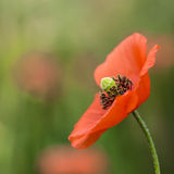 Dziki makowy kwiat na zamazanym tła zakończeniu up Obrazy Stock