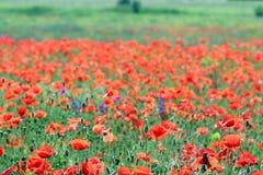 Dziki makowy kwiat w łąkowej naturze zdjęcia stock