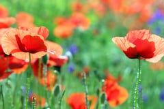 Dziki makowy kwiat w łąkowej wiośnie zdjęcie royalty free