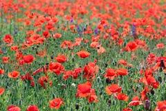 Dziki makowy kwiat w łąkowej wiosna sezonu wsi fotografia royalty free