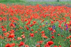 Dziki makowy kwiat w łąkowej wsi obraz royalty free