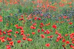 Dziki makowy kwiat w łąkowym wiosna sezonie zdjęcia stock