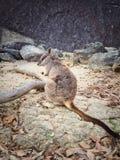 Dziki Mareeba Rockowy Wallaby zdjęcie royalty free