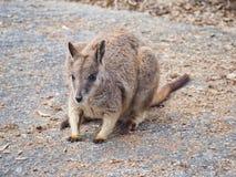 Dziki Mareeba Rockowy Wallaby zdjęcie stock