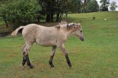 Dziki Mały koń Fotografia Royalty Free