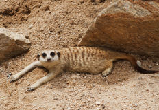 dziki meerkat mały dopatrywanie Zdjęcia Stock