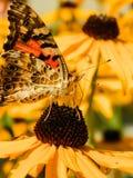 Dziki motyl Zdjęcie Stock