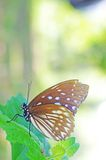 Dziki motyl na liściu Obraz Stock