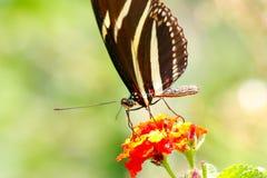 Dziki motyl V Zdjęcie Royalty Free
