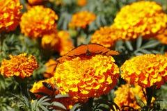 Dziki motyl VIII Zdjęcie Royalty Free