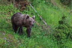 dziki niedźwiedź Obraz Royalty Free