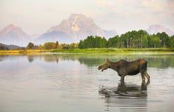 Dziki łoś amerykański Obraz Royalty Free