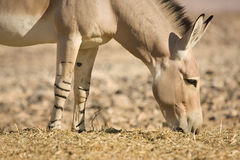 dziki osła afrykański łasowanie Zdjęcia Royalty Free