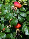 dziki owocowy winograd Zdjęcia Royalty Free