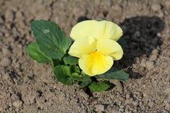 Dziki pansy lub altówka tricolor mały dziki kwiat z żółtymi płatkami otaczającymi z ciemnozielonymi liśćmi i suchą ziemią obraz stock