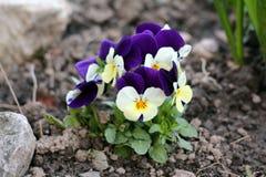 Dziki pansy lub altówka tricolor mali dzicy kwiaty z ciemnymi płatkami zasadzającymi w miejscowego ogródzie otaczającym z mokrą z obraz stock