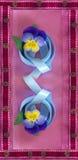 Dziki pansy z błękitnym faborkiem Zdjęcia Stock