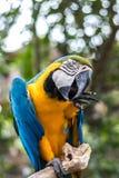 Dziki papuzi ptak Kolorowa papuga w Bali zoo, Indonezja Zdjęcia Stock