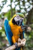 Dziki papuzi ptak Kolorowa papuga w Bali zoo, Indonezja Obrazy Royalty Free