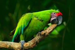 Dziki papuzi ptak, zielona papuzia zieleni ara, aronu ambigua Dziki rzadki ptak w natury siedlisku Zielony duży papuzi obsiadanie zdjęcie stock