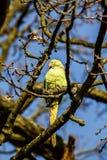 Dziki Parakeet W drzewie obraz royalty free