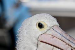 Dziki pelikana zbliżenia głowy i oka strzał Fotografia Stock