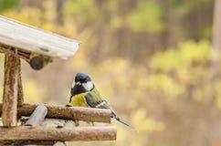 Dziki piękny ptak patrzeje dla jedzenia w dozowniku z żółtym brzuchem w spadku Zdjęcia Royalty Free