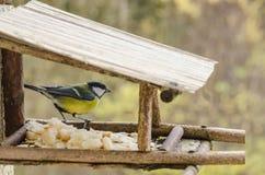 Dziki piękny ptak patrzeje dla jedzenia w dozowniku z żółtym brzuchem w spadku Zdjęcia Stock