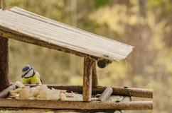 Dziki piękny ptak patrzeje dla jedzenia w dozowniku z żółtym brzuchem w spadku Obraz Royalty Free