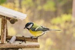 Dziki piękny ptak patrzeje dla jedzenia w dozowniku z żółtym brzuchem w spadku Obraz Stock
