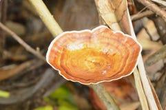 Dziki pieczarkowy dorośnięcie na drewnianym nazwa użytkownika lesie zdjęcie stock