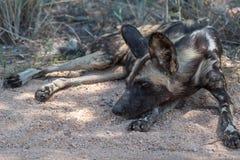 dziki pies Zdjęcie Stock