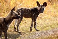 Dziki pies Moremi N - Okavango delta - P Obraz Stock