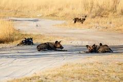 Dziki pies Moremi N - Okavango delta - P Zdjęcie Royalty Free