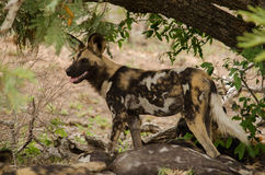 Dziki pies na strażniku Obrazy Royalty Free