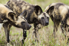Dziki pies w Południowa Afryka obrazy royalty free