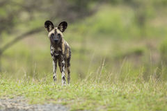 Dziki pies w Południowa Afryka fotografia royalty free
