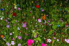 Dziki pole kwiaty kwiaty łąkowi, pełno zdjęcie royalty free