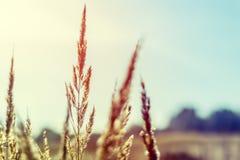 Dziki pole trawa na zmierzchu, miękcy słońce promienie obraz stock