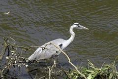 Dziki popielaty czapli Ardea cinerea na polowaniu w Rzecznym Thames Fotografia Stock