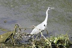 Dziki popielaty czapli Ardea cinerea na polowaniu w Rzecznym Thames Obraz Royalty Free