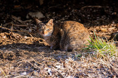 Dziki przybłąkany kot z poważną twarzą w lasowym terenie w Seul obrazy royalty free