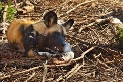 dziki psi Botswana afrykański savuti Zdjęcia Royalty Free