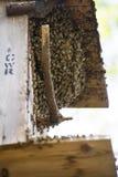 Dziki pszczoła rój obrazy stock