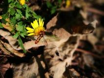 Dziki pszczoły powstrzymywanie na żółtym kwiacie fotografia royalty free