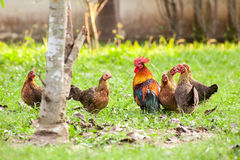 Dziki ptactwo, kurczak w dżungli Obrazy Stock