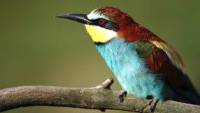 Dziki ptak w ranek procedurach, zjadacz beka regurgitates zbiory wideo