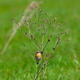 Dziki ptasi obsiadanie na gałąź na tle zielona trawa sa Fotografia Stock