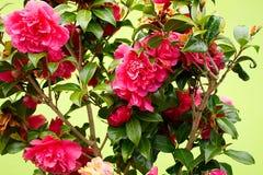Dziki różany kwitnący krzak przeciw pistacia ścianie Obrazy Royalty Free
